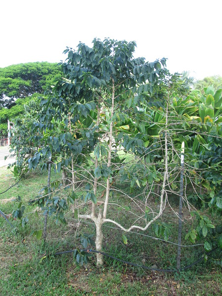 This is a coffee tree