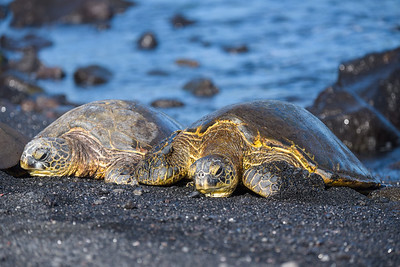Green Sea Turtles hanging out