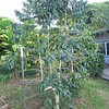 more coffee trees