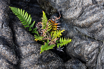 Lava and Fern 2 - Big Island, Hawaii (2009)