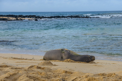 Hawaiian Monk Seal (3)