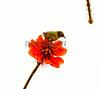 Japanese white-eye (Zosterops japonicus) on Erythrina flower