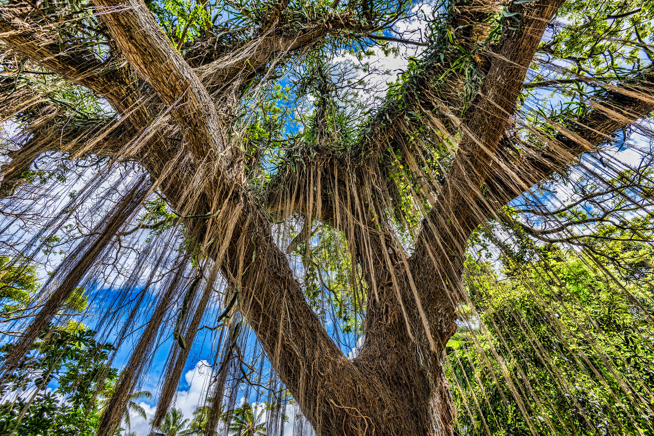 Hanging vine trees on Honolulu