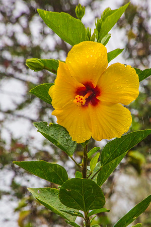 Hibiscus flower at house I stayed at in Hawaiian Paradise Park