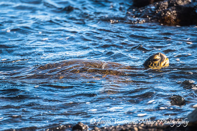 Green Sea Turtle approaches the shore