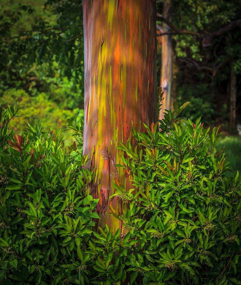 Rainbow Eucalyptus on Maui