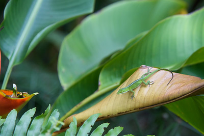 Green Anole (1)