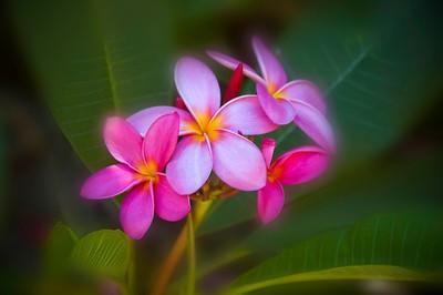 Pink Plumerias.