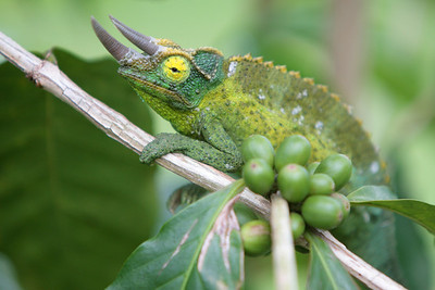 Chameleon amongst the coffee cherries at Hula Daddy Plantation.