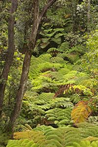 Rainforest near Thurston Lava Tube, Big Island, Hawaii.