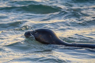 Hawaiian Monk Seal (1)