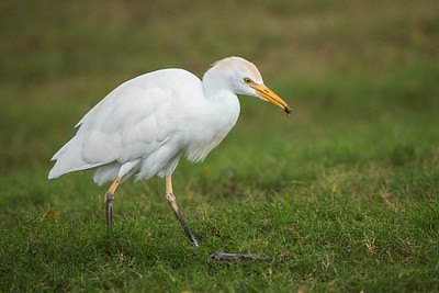 Cattle Egret hunting insects (2)