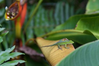 Green Anole (2)