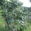 Another coffee tree