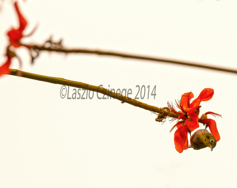 Japanese white-eye (Zosterops japonicus) on Erythrina flower