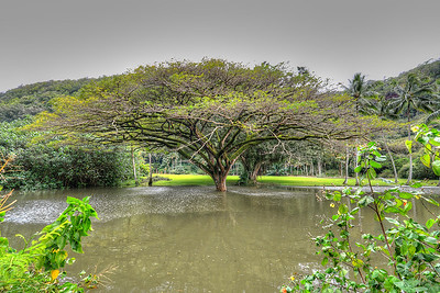 Trees in Waimea Valley, North Shore Oahu
