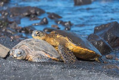 Green Sea Turtle snuggling up (3)