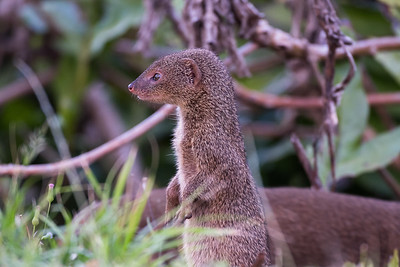 Javan Mongoose on alert