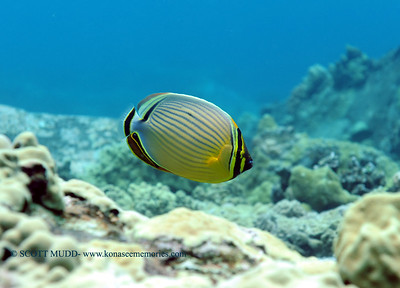 oval butterflyfish (ミスジチョウチョウウオ) chaetodon lunulatus  range: pacific ocean           範囲:大西洋  depth: usually below 100 feet     深度:30メトールくらいまで  personality: shy              性格:恥ずかしがりや