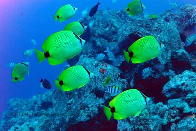 milletseed butterflyfish (レモンチョウチョウウオ) chaetodon miliaris  range: endemic to hawaii      範囲:ハワイの固有種  depth: usually below 130 feet   深度:40メトールくらいまで  personality: curious          性格:好奇心がある