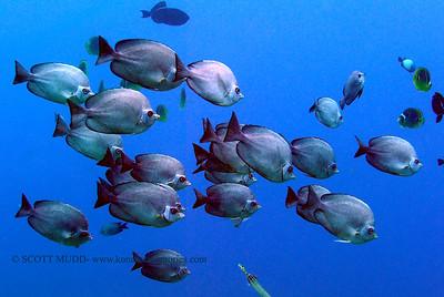 thompsons butterflyfish (トンプソンチョウチョウウオ) hemitaurichthys polepsis   range: western/central pacific ocean  範囲:大西洋の西部・中部 depth: usually below 100 feet        深度:たいてい30メトールくらいまで personality: shy                性格:恥ずかしがりや