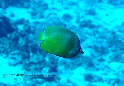 bluehead butterflyfish (ブルーヘッドョウチョウウオ) chaetodon kleinii  range: indian/pacific oceans     範囲:大西・インド洋  depth: usually 30-140 feet      深度:たいてい9-45メトール  personality: shy             性格:恥ずかしがりや