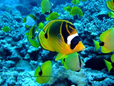 raccoon butterflyfish (チョウハンチョウチョウウオ) chaetodon lunula  range: indo-pacific            範囲:大西・インド洋  depth: usually below 100 feet     深度:30メトールくらいまで  personality: shy              性格:恥ずかしがりや