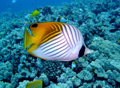 threadfin butterflyfish (トゲチョウチョウウオ) chaetodon auriga  range: pacific ocean           範囲:大西洋  depth: usually below 100 feet     深度:30メトールくらいまで  personality: usually shy         性格:たいてい恥ずかしがりや
