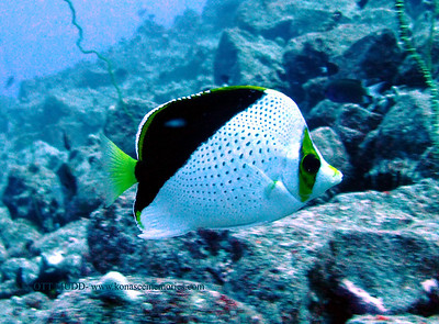 tinker's butterflyfish (チィンカーズバタフライ)chaetodon tinkeri  range:  central and western pacific      範囲:西・中部大西洋 depth:  deep, usually above 100 feet     深度:たいてい30メトールより深い personality:  very curious            性格:好奇心が強い