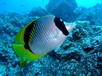 lined butterflyfish (ニセフライチョウチョウウオ) chaetodon lineolatus  range: indo-pacific            範囲:大西・インド洋  depth: usually below 100 feet     深度:30メトールくらいまで  personality: shy              性格:恥ずかしがりや