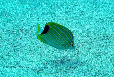 bluestripe butterflyfish (ブルーストライプバタフライ) chaetodon fremblii   range: hawaii                範囲:ハワイ depth: usually below 100 feet     深度:30メトールくらいまで personality: shy              性格:恥ずかしがりや