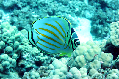 ornate butterflyfish (ハナグロチョウチョウウオ)chaetodon omatissimus cuvier  range:  central/western pacific, indian oceans  範囲:西・中部大西洋・インド洋 depth:  usually below 100 feet            深度:30メトールくらいまで personality:  curious                    性格:好奇心がある