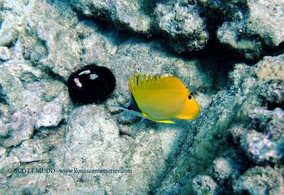 rare longnose butterflyfish (オオフエヤッコダイ) forcipiger longirostris  range: indo-pacific            範囲:大西・インド洋  depth: usually below 100 feet     深度:30メトールくらいまで  personality: shy              性格:恥ずかしがりや
