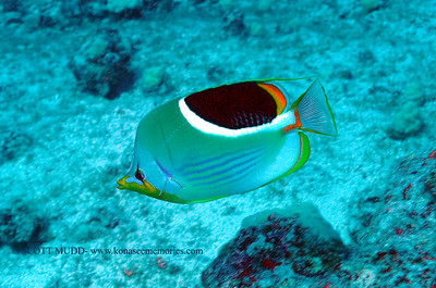 saddleback butterflyfish (セグロチョウチョウウオ) chaetodon ephippium  range: western/central pacific        範囲:西部・中部大西洋  depth: shallow, usually below 100 feet  深度:30メトールくらいまで  personality: shy                 性格:恥ずかしがりや