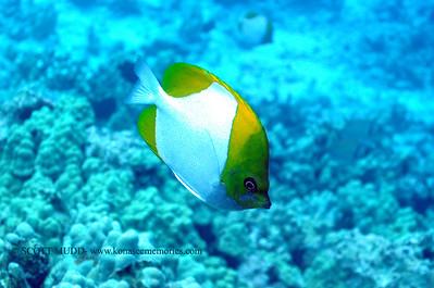 pyramid butterflyfish (カスミチョウチョウウオ) hemitaurichthys polylepsis  range: western-central pacifi      範囲:西・中部大西洋  depth: usually above 60 feet     深度:たいてい18メトールより深い  personality: shy             性格:恥ずかしがりや
