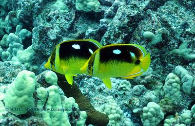 fourspot butterflyfish (シテンチョウチョウウオ) chaetodon quadrimaculatus  range: pacific ocean           範囲:大西洋  depth: usually below 100 feet     深度:30メトールくらいまで  personality: curious            性格:好奇心がある