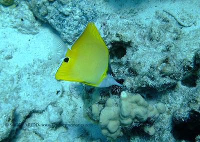 common longnose butterflyfish (フエヤッコダイ) forcipiger flavissimus  range: indo-pacific            範囲:大西・インド洋  depth: usually below 100 feet       深度:30メトールくらいまで  personality: shy                 性格:恥ずかしがりや