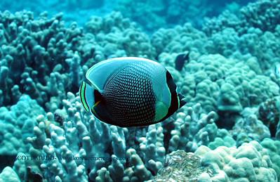 reticulated butterflyfish (ハクテンカタギ) chaetodon reticulatus  range:  central and western pacific   範囲:西・中部大西洋 depth:  usually below 60 feet       深度:18メトールくらいまで personality:  shy                       性格:恥ずかしがりや