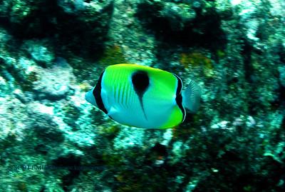 teardrop butterflyfish (イッテンチョウチョウウオ) chaetodon unimaculatus  range:  indo-pacific            範囲:大西・インド洋 depth: usually below 60 feet      深度:18メトールくらいまで personality:  very shy           性格:超恥ずかしがりや