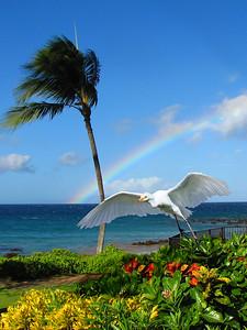 Egret under a Maui rainbow