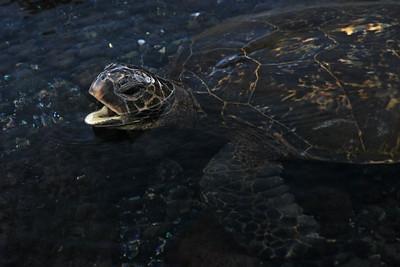 Green Sea Turtle, Punaluu Black Sand Beach