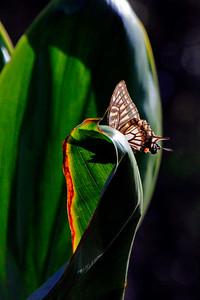 Hawaiian Butterfly