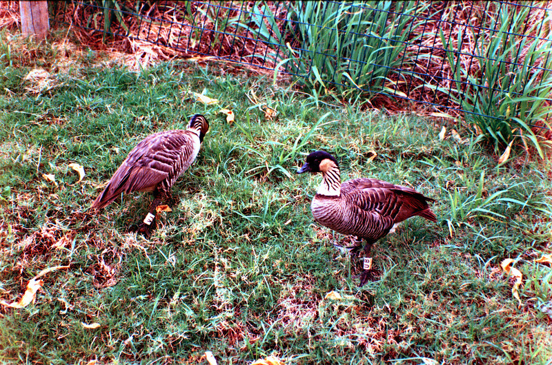 A couple of nene geese searching for food at the lighthouse complex.  The nene is the state bird of Hawai'i.