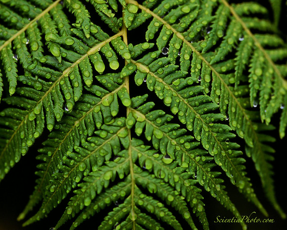 After the Rain - Fern