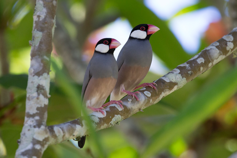 Java Sparrows (Padda oryzivora)