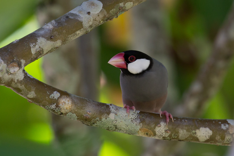 Java Sparrows (Padda oryzivora)