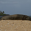 Hawaiian Monk Seal (Monachus schauinslandi)