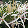 Hawaii, Kauai, Flowering Plant, Hanalei