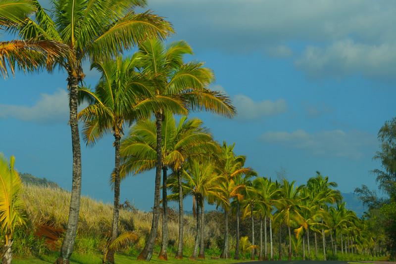Hawaii, Kauai, Roadside Palms