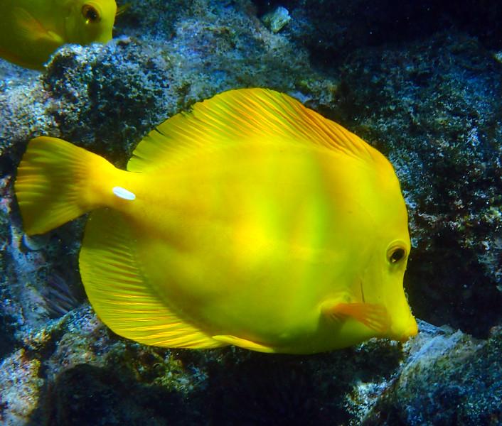 Hawaii, UnCruise Adventures, Big Island, Kealakekua Bay, Yellow Tang Close up
